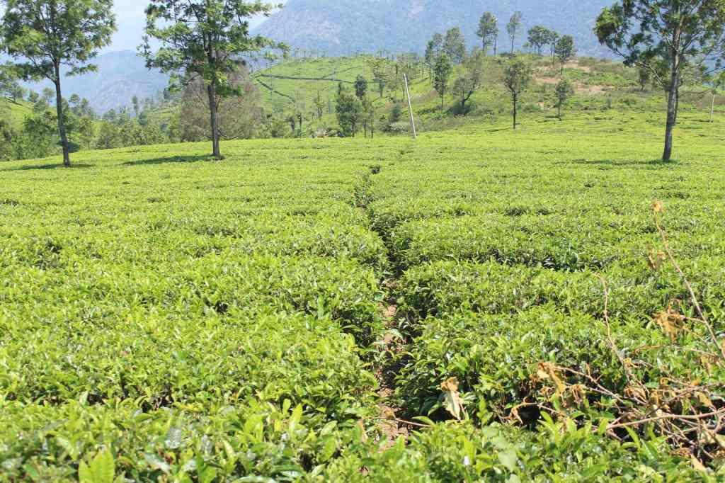 Singara Tea Estate owned by Mayur Madhvani, husband of yesteryear Hindi actress Mumtaz.
