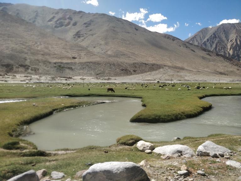 Large herd of Pashmina Goats
