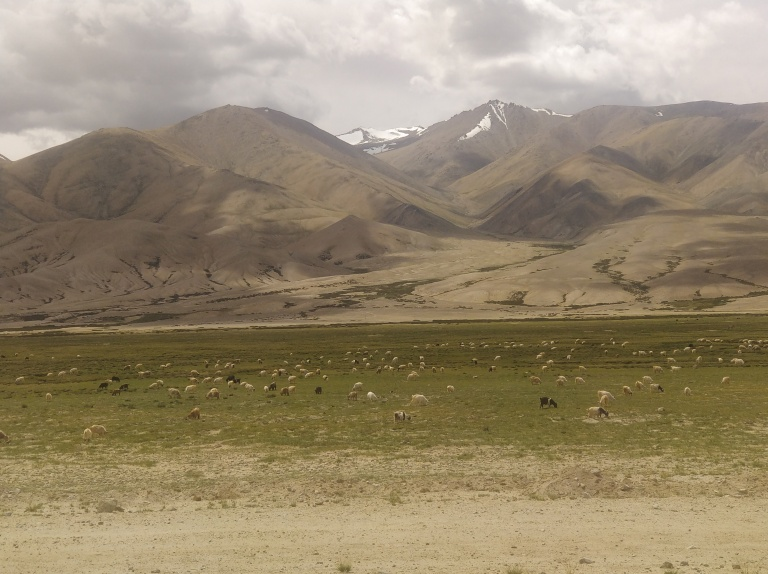 Herds of Pashmina goats looks like small dots