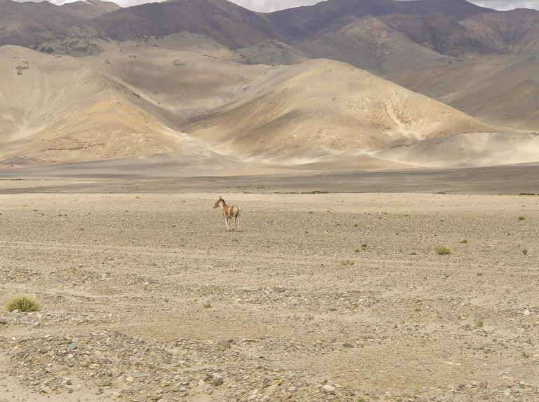 Jungli Ghoda or Jungle Horse or wildass