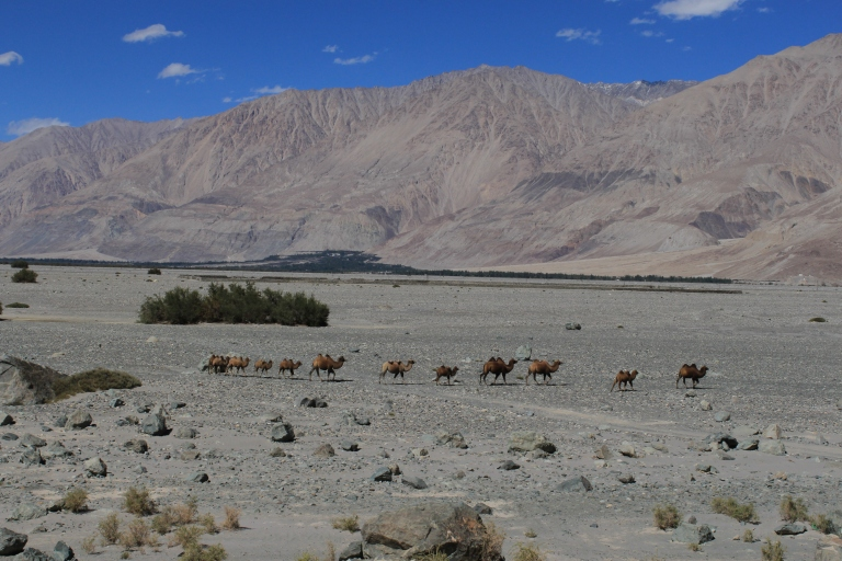 A herd of camels walking through the desert - taken on the way to Diskit and Hunder
