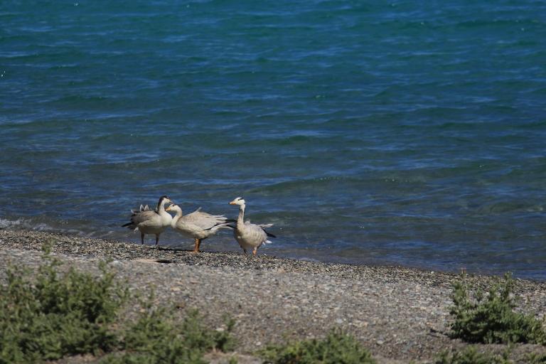 Bar headed goose on the banks of Pangong Lake