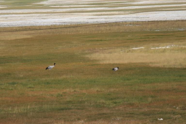 Black Neck Crane on the banks of Mirpal Tso